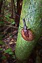 Violin Beetle (Mormolyce sp.) in rainforest habitat. Danum Valley, Sabah, Borneo, Malaysia.
