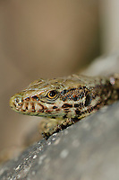 Common Wall Lizard head (Podarcis muralis), Europe.
