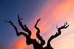 Old petit sirah vine silhouetted against sunset