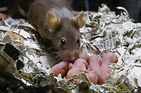 Hausmaus, Haus-Maus, Maus, mit Jungen, Jungtieren, Mäuschen in einem Nest aus Zeitungsschnipseln, Mus musculus, house mouse