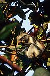 Zanzibar, Tanzania. Red colobus monkey.