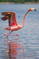 A rare wild Flamingo takes flight from Snake Bight, Everglades National Park.<br />