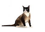 Snowshoe Cat - Male - Sitting