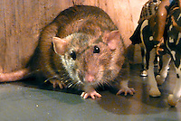 Zoe the pet rat flinches to avoid the hooves of the running model horses and the yelling cowboy
