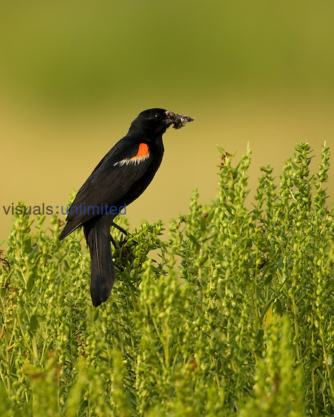 Red-winged Blackbird ,Agelaius phoeniceus, with a bug in its mouth during the nesting season, North America.