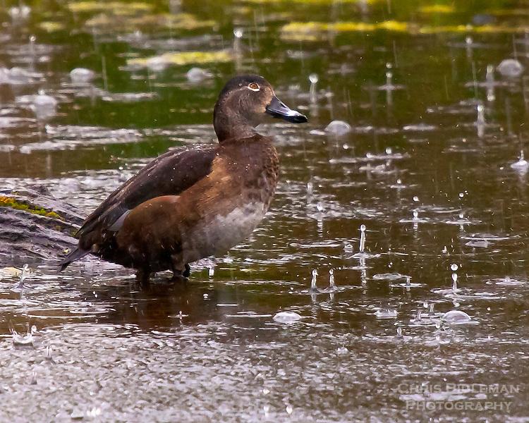 Female ring-necked duck in the rain at Ridgefield National Wildlife Refuge