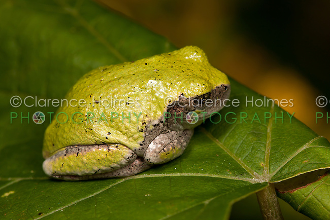 A Gray Treefrog (Hyla versicolor) sits on a leaf.