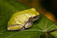 A Gray Treefrog (Hyla versicolor) sits on a leaf.