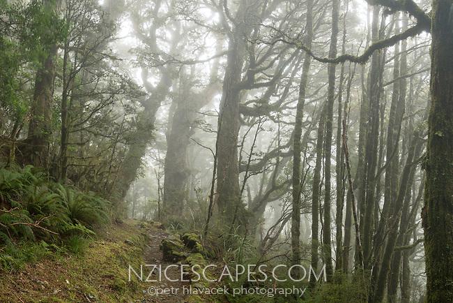 Hiking track through rainforest on Routeburn Track, Fiordland National Park, Southland, South Island, World Heritage Area, New Zealand