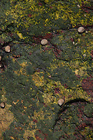 Rock Face with Periwinkles, Lower Negro Island, Castine, Maine, US