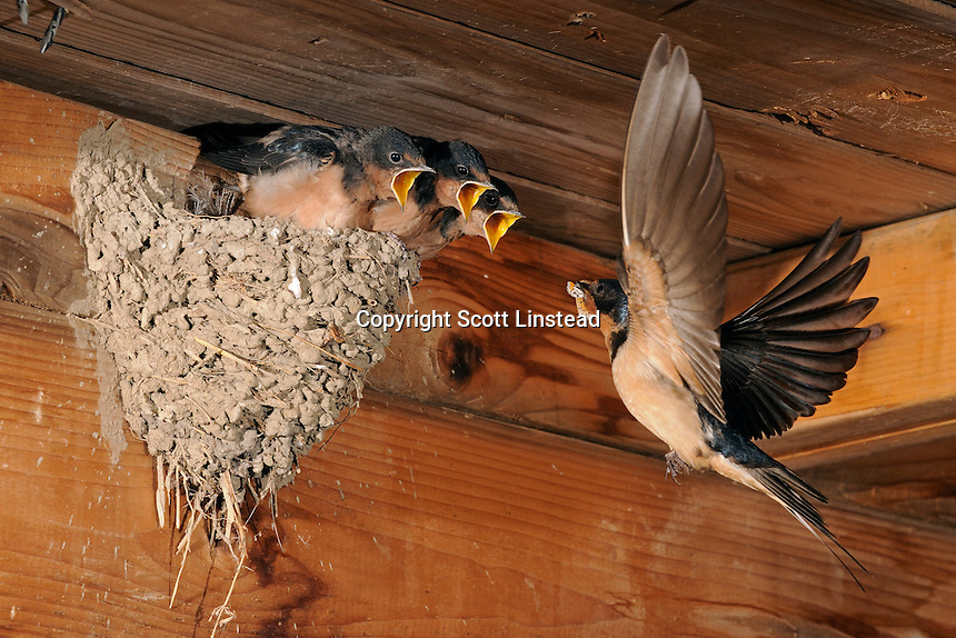 An adult barn swallow returns to the nest with a butterfly to feed to the young.