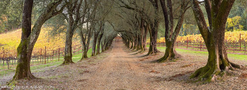 Olive Grove Panorama
