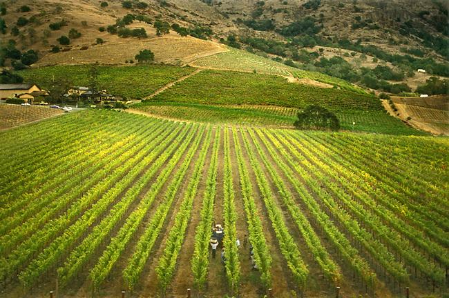 Harvest at Shafer Vineyard, north of Napa, California