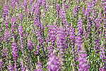 Anza-Borrego Desert State Park, Borrego Springs, California; a field of flowering Arizona Lupine (Lupinus arizonicus) plants  sit at the base of a rocky hillside, swaying in the wind