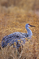512666241 a wild adult sandhill crane grus canadensis stands in a field of tall dead grasses in bosque del apache national wildlife refuge new mexico