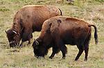 Bison Grazing, Madison Junction, Yellowstone National Park, Wyoming
