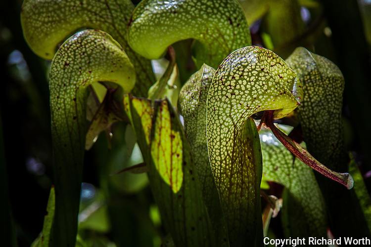 A Cobra lily, one among many, displays an intricate lace of veins coursing through its hood at the Darlingtonia Wayside, Florence, Oregon.