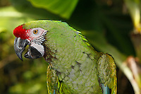 Military Macaw (Ara militaris) head