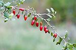 Chinese Medicinal Plants