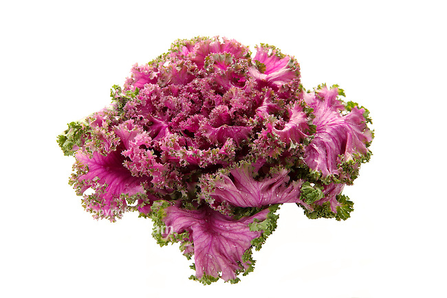Fresh organic pink flowering kale on white background