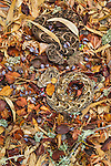 Coiled and camouflaged in the leaf litter, hidden by its beautiful colors and patterns, two venomous Puff Adders await the close passage of its next unsuspecting meal in Altai, Morocco.