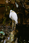 Great egret, Everglades National Park, Florida