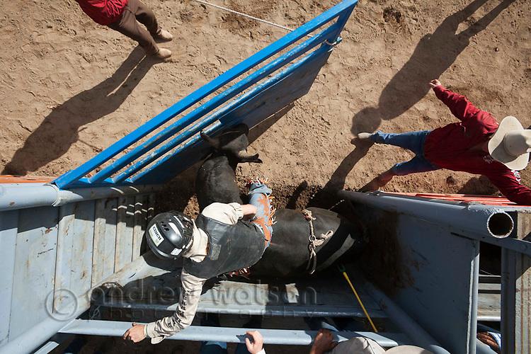Overhead view of bull rider in action as bucking chute is opened.  Mareeba Rodeo, Mareeba, Queensland, Australia