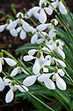 Snowdrop (Galanthus 'Erway Seedling'), late February.