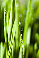 Closeup of water drops on blades of bright green grass.