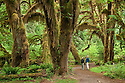 Bigleaf maple trees, Hall of Mosses Trail, Hoh Rainforest, Olympic National Park, Washington.