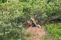 Red fox at den site with kits, Denali National Park, Alaska