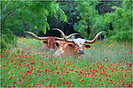 Just outside Llano, Texas, I found this pair of Texas Longhorns resting in a field of Texas Wildflowers. The Indian Blankets (firewheels) added color to their lazy Texas Hill Country afternoon in this iconic image of Texas.