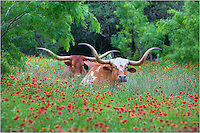 Along Highway 71 outside of Llano in the Texas Hill Country, I passed by this pair of longhorns resting in a field of wildflowers. I had to turn around and immediately pulled out the telephoto lens to photograph this scene. This iconic view of Texas has turned out to be one of my best selling images - and one of my favorites, as well.