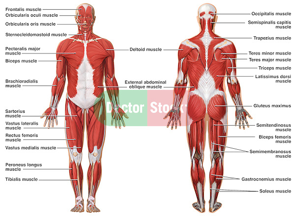 anatomy of the muscular system | doctor stock, Muscles