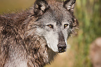 Close view of Gray Wolf's face