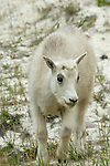 A young female kid mountain goat in Jasper National Park