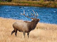 Bull Elk standing near river, bugling