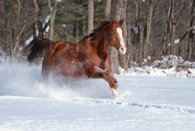 Picture of quarterhorse gelding running in sunlight in new fallen snow.
