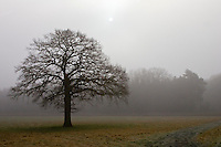 Tree in foggy field, Oxfordshire, United Kingdom