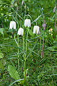 White form of snake's head fritillary (Fritillaria meleagris), late March.