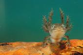 Alpine Newt (Triturus alpestris) larva with external gills.