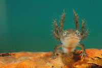 Alpine Newt (Triturus alpestris) larva with external gills.