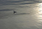 bufflehead drifting on a calm lake with the sun casting a golen glow over the silvered water