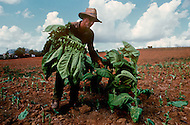 Cuba, March 1992: A man collecting the tobacco leaves in Vinales area, Cuba.