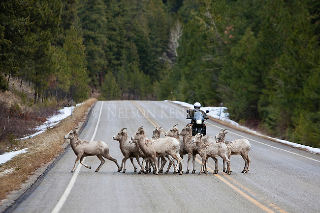 A herd of Bighorn Sheep ewes on the Skalkaho Highway in early spring in western Montana with a motorcycle approaching