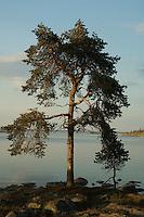 Furu ved Rogen ---- Pine by lake Rogen