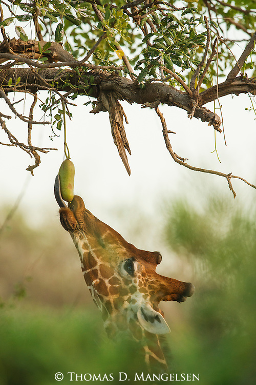 A giraffe has to use its tongue to get to a fruit high in a sausage tree.