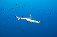 These sharks cruise back and forth on the current in front of you.  They can sometimes get quite close.  Though generally not dangerous to divers in groups, it is wise to always face them, though this is not always possible, Palau Micronesia. (Photo by Matt Considine - Images of Asia Collection)