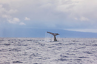 A humpback whale doing a tail extension off the coast of Maui at sunset, with Lanai in the background
