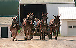 Farm boy with mules and horse team work Commonwealth of Pennsylvania, Fine art Photography and Stock Photography by Ronald T. Bennett <br /> Photography &copy;, Keystone state, Thirteen Colonies, Constitution, Fine Art Photography by Ron Bennett, Fine Art, Fine Art photography, Art Photography, Copyright RonBennettPhotography.com &copy; Fine Art Photography by Ron Bennett, Fine Art, Fine Art photography, Art Photography, Copyright RonBennettPhotography.com &copy;